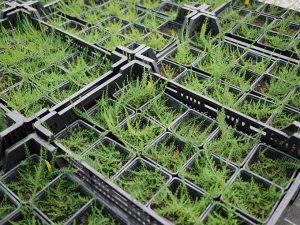 abgehärtete Calluna Jungpflanzen aus in vitro Vermehrung