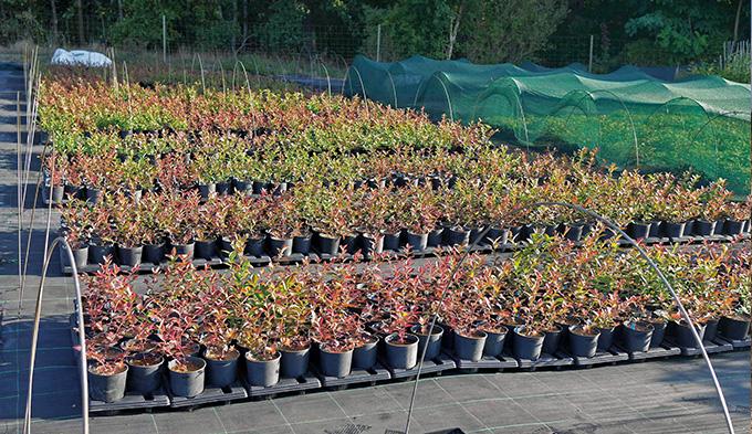 Heidelbeeren (Vaccinium) Jungpflanzen aus in vitro Kultur
