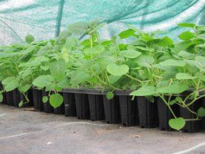 Landwirtschaftliche Kulturpflanzen – Kartoffel (Solanum tuberosum)